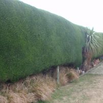 Macrocarpa Hedge after