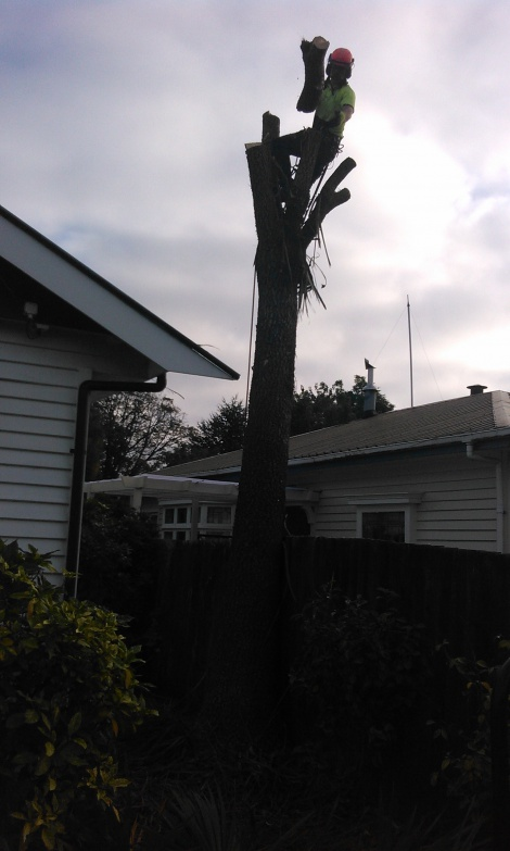 Cabbage Tree removal