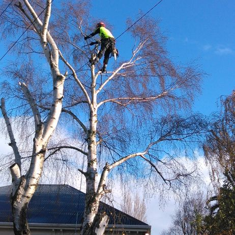 Birch removal over house and powerlines