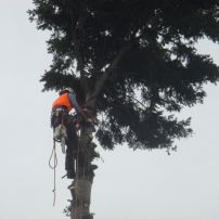 Douglas Fir removal, Addington