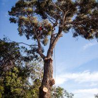 Large Blue Gum Removal, Cashmere