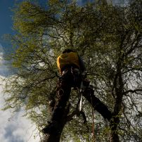 Twisted Willow Removal, Fendalton