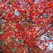 Flame Tree (Illawarra)