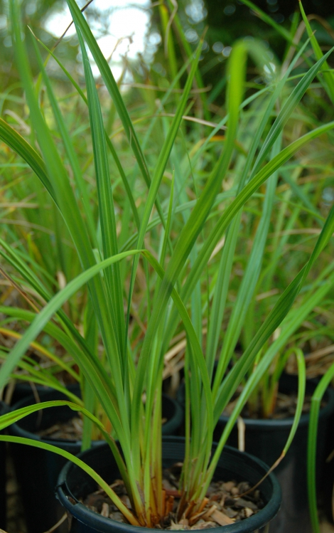 Sedge-darter Carex