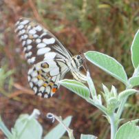 Chequered Swallowtail butterfly