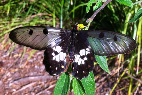 Clearwing Swallowtail butterfly