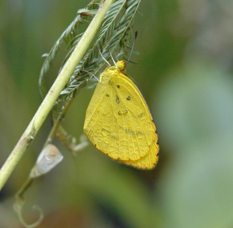 No-Band Grass Yellow butterfly
