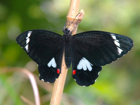 Orchard Swallowtail butterfly (Male)