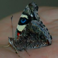 Yellow Admiral butterfly