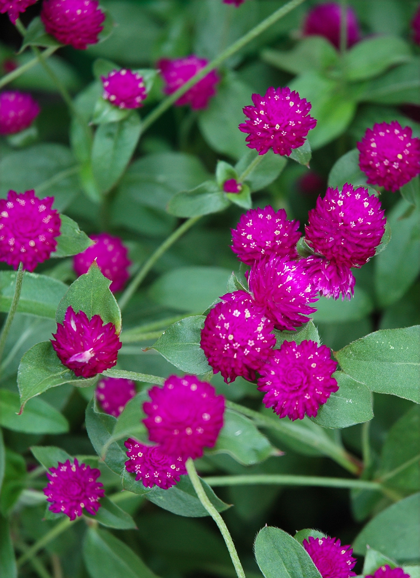Globe Amaranth Butterfly Host Plants As Seen On Abc Gardening