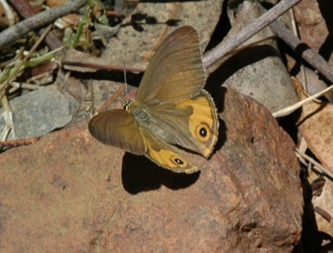 Common Brown Ringlet butterfly