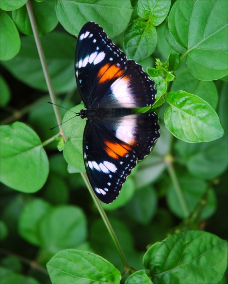 Varied Eggfly butterfly (female)