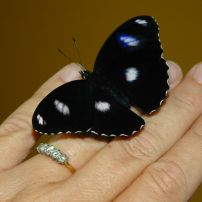 Varied Eggfly butterfly (Male)