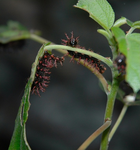 Jezebel Nymph Caterpillar
